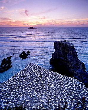 Australasian gannet colony at sunset in summer Muriwai West Auckland New Zealand