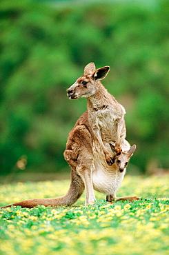 Eastern grey kangaroo (Macropus giganteus), Victoria, Australia