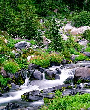 Summer wildflowers bloom along Paradise Creek below Mazama Ridge at summer, Mount Rainier National Park, Washington, USA