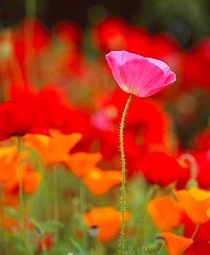 Iceland Poppy (Papaver nudicaule), Anacortes, Skagit County, Washington, US.A.