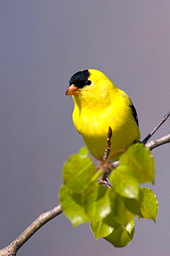 American goldfinch (Carduelis tristis), male, early spring, Lively, ON, Canada