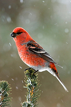 Pine grosbeak (Pinicola enucleator) Winter visitor male perched in jack pine bough in snow storm, Lively, Ontario