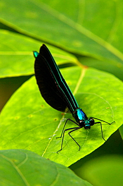 Ebony Jewelwing Damselfly (Calopteryx maculata), Male resting on leaf, Ontario