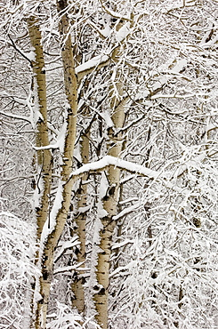 Fresh, heavy, wet snow on aspen trees
