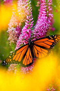 Monarch butterfly (Danaus plexippus) nectaring on speedwell plant in flower garden - 817-123425