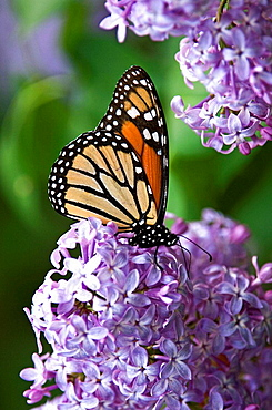 Monarch butterfly (Danaus plexippus) nectaring on lilac flowers