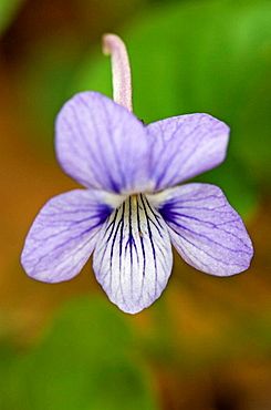 Long-spurred violet (Viola rostrata)