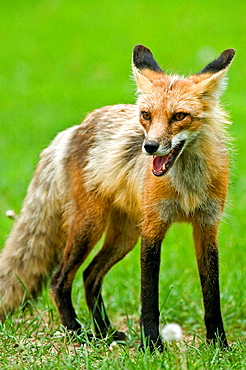 Red fox Vulpes vulpes Adult showing little fear loafing on cottage lawn