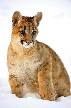 Cougar, Mountain lion Felis concolor Baby in winter habitat