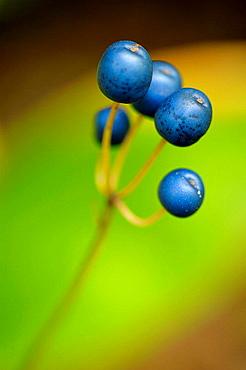 Blue bead lily Clintonia borealis berries