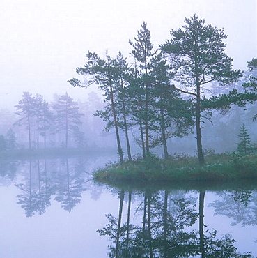 Morning mist on small lake with pine forrest on island in marshlands, Vastmanland, Sweden, Scandinavia, Europe.