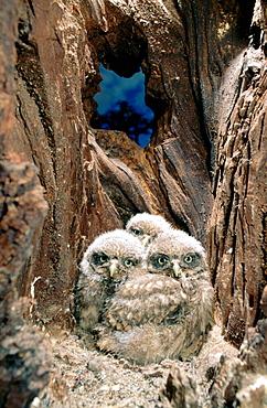 Little Owls (Athene noctua) in nest