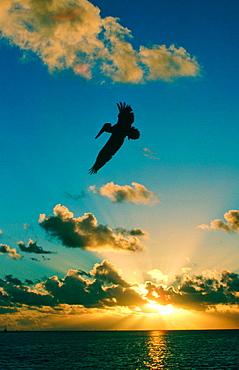 Brown Pelican flying at sunrise, Islamorada, Florida, USA