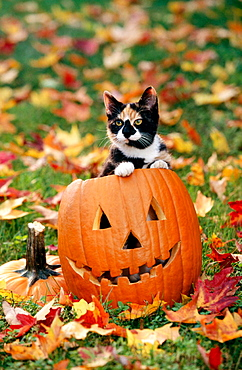 Cat on Halloween pumpkin