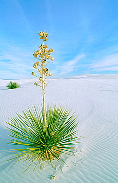 Soaptree Yucca (Yucca elata), White Sands National Monument, New Mexico, USA