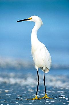 Snowy Egret (Egretta thula), Everglades National Park, Florida, USA
