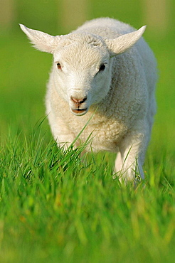 Domestic Sheep (Ovis aries), lamb, Mainland, Orkney Islands, Scotland