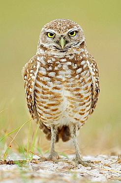 Burrowing Owl (Athene cunicularia), Florida, USA