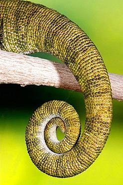 Chameleon (Chamaeleo chamaeleon), detail, Spain
