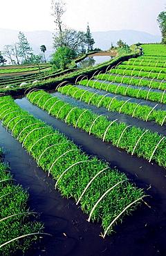 Rice plant nursery, Yuanyang, Yunnan, China