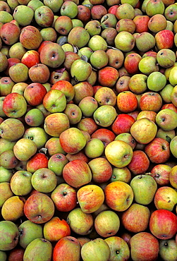 Freshly harvested apples, Altes Land, Lower Saxony, Germany