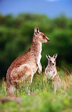 Grey Kangaroos (Macropus giganteus), Australia