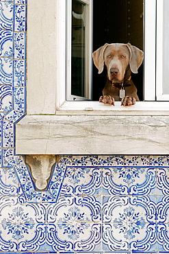 Dog at window, Lisbon, Portugal