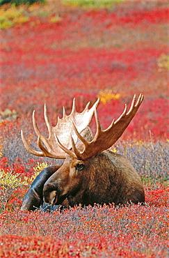 Moose (Alces alces), male, Denali NP, Alaska, USA