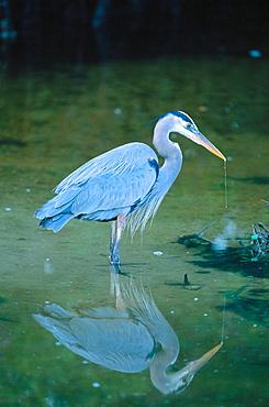 Great Blue Heron (Ardea herodias), Sanibel Island, Florida, USA