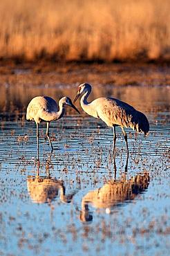 Sandhill crane, Grus canadensis, Kanadakranich,two standing in water, winter quarters, Bosque del Apache National Wildlife Refuge, New Mexico, USA