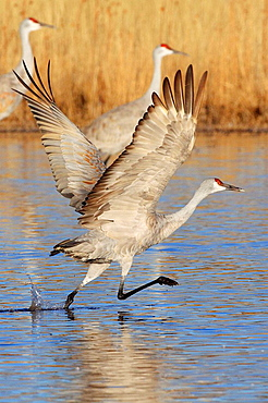 Sandhill crane, Grus canadensis, Kanadakranich, one flying, in flight after take off, winter quarters, Bosque del Apache National Wildlife Refuge, New Mexico, USA