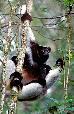 Indri (Indri indri), largest living lemur, Madagascar