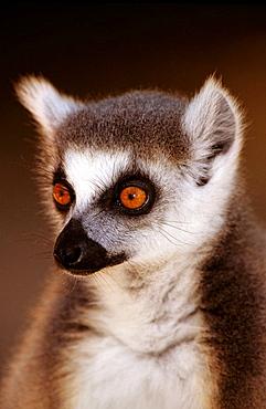 Ring-tailed Lemur (Lemur catta), Berenty, Madagascar
