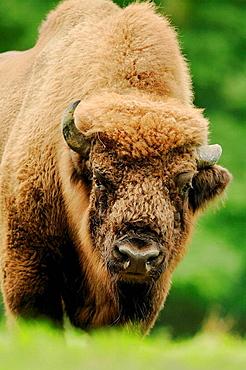 Wisent,bull,(Bison bonasus)