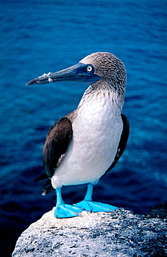 Blue-footed Booby (Sula nebouxii), North Seymour Island, Galapagos Islands, Ecuador