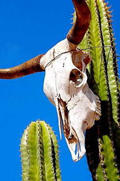 Cactus in Todos Santos, Baja California Sur, Mexico - 817-154314