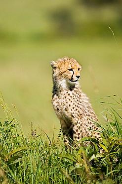 Cheetah Cub on a termite mound in the Masai Mara