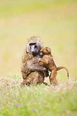 Baboon family groom in Nakuru