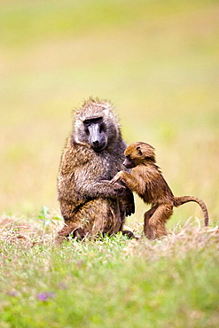 Baboon Male and Baby groom in Nakuru, Kenya