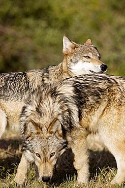 Wolves display bonding rituals