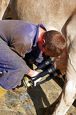 A farmer put in place a milking device lepontine alps Verbano Cusio Ossola province piemonte italy europe