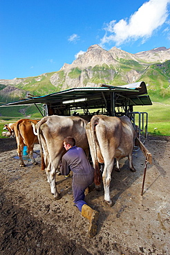 A farmer put in place a milking device at a temporary milking station lepontine alps Verbano Cusio Ossola province piemonte italy europe
