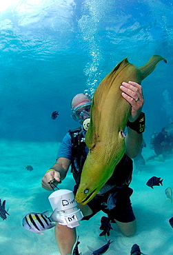Male diving instructor feeding moray eel, British Virgin Islands