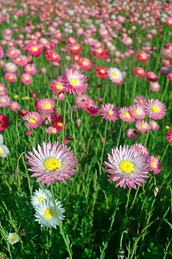 Carpet of pink and white paper daisies, Rhodanthe chlorocephala, one of the most spectacular sights of Western Australia's spring wildflower season