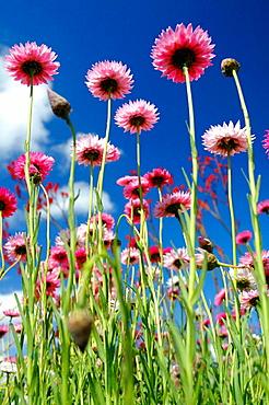 Spring wildflowers in field, Paper daisies (Rhodanthe chlorocephala), endemic to Western Australia.