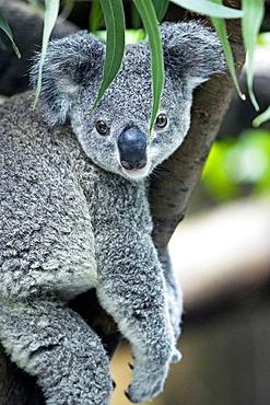 Koala (Phascolarctos cinereus) seating in eucalyptus tree, captive, Germany