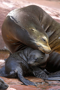 Californian Sea Lions (Zalophus californianus), captive baby with mother adult, Germany