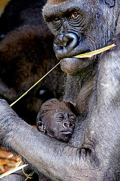 Mountain gorilla (Gorilla gorilla) captive, with baby, Germany