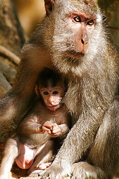 Wild Grey Macaque infant monkey feeding, Lombok, Indonesia