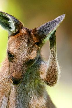 Kangaroo, Australia.